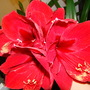 Four flowers (two stems) (Hippeastrum)
