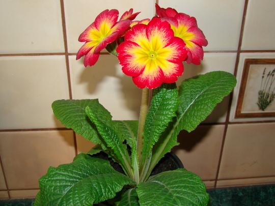 Primula elatior (Primula elatior)