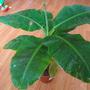 """Musa acuminata type """"Dwarf Cavendish"""" (Musa acuminata)"""