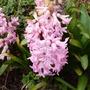 Hyacinth pale pink (Hyacinthus orientalis (Hyacinth))