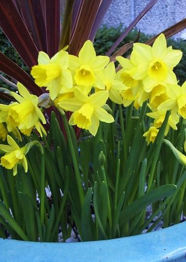 Dwarf Narcissi in front Garden.