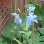 My Lovely Himalayan Blue Poppy