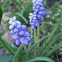 Muscari armeniacum (Muscari armeniacum (Grape hyacinth))