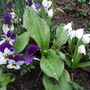 Scillas_violas_and_erythronium_pagoda_on_the_way
