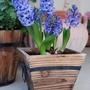 Blue Hyacinth (Hyacinth)