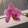 my first orchid, blooming at last