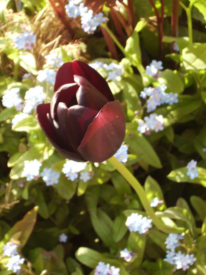 'Queen of the NIght' Tulip & Forget-me-nots 04.08 (Tulipa ?)