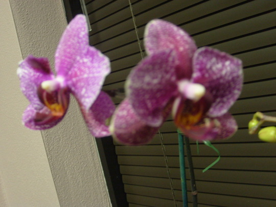 my first orchid, close-up