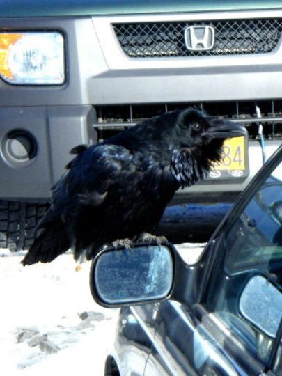 Local Raven
