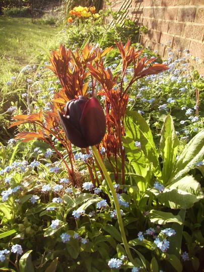 'Queen of the NIght' Tulip & Peony  04.08 (Tulipa ?)