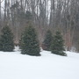snowy pine trees. Dayton, Ohio