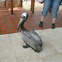Pelican at the Oceanario (kind of like an aquarium)