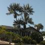 Tall Howea fosteriana - Kentia Palm and blooming Strelitzia reginae - Bird-of-Paradise below (Howea fosteriana - Kentia Palm)