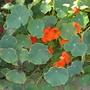 Tropaeolum majus - Nasturtium Blooming on Shelter Island (Tropaeolum majus - Nasturtium)