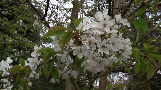 Wild Cherry Blossom Close Up 04.08 (Prunus avium)