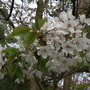 Wild Cherry Blossom Close Up 04.08 (Prunus avium)