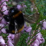 Pink Heather and Bumble Bee