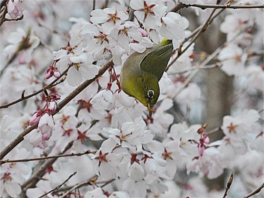 Cherry and Mejiro(Japanese White-eye) - 1 (Prunus L.)