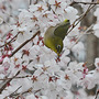 Cherry and Mejiro(Japanese White-eye) - 1 (Prunus L.)