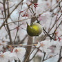Cherry and Mejiro(Japanese White-eye - 2) (Prunus L.)