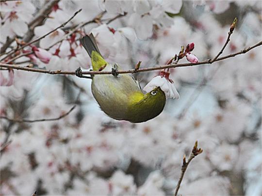 Cherry and Mejiro(Japanese name; English name: White-eye) (Prunus L.)