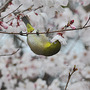 Cherry and Mejiro(Japanese name; English name: White-eye) (Prunus L.)
