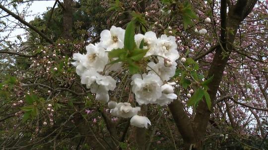 Double Ornamental Cherry Blossom 04.08 (Samantha's Tree) (Prunus 'Shirotae')