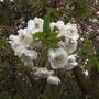 Double Ornamental Cherry Blossom 04.08 (Samantha's Tree) (Prunus 'Shirotae')