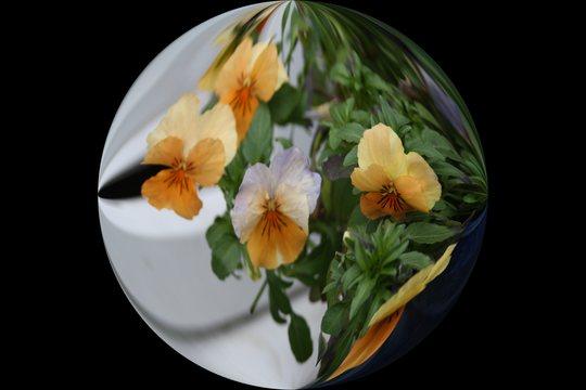 Viola Orange Cream