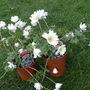 Anemone_blanda_white_splendour_