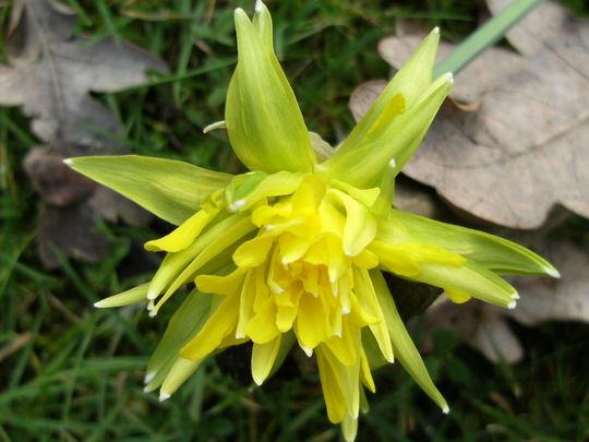 Narcissus  ' Rip Van Winkle '