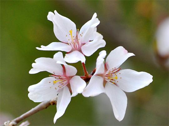 Closeup of Yoshino Cherry (Cerasus X yedoensis)