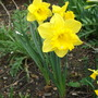 Narcissus King Alfred (Narcissus)
