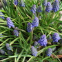 Grape Hyacinth - Muscari (Muscari armeniacum (Grape hyacinth))