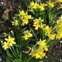 Little Gem dwarf daffs (Narcissus)
