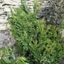 Yew_taxus_baccata