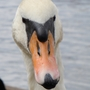 Swan_head_close_up_reduced.jpg