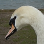 Swan_beauty_reduced.jpg