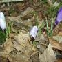 Crocus - nice to see even when closed