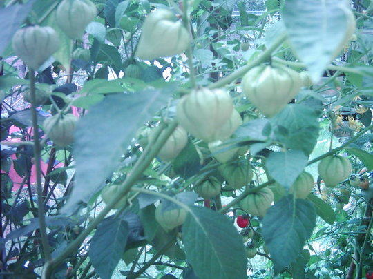 Tomatillos (LYCOPERSICON)