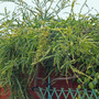 ACACIA pravissima 28.3.10 (Acacia pravissima)