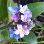 First Forget me nots..........