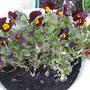 Violas flowering again..........