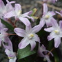 Chionodoxa forbesii 'Pink Giant' (Chionodoxa forbesii (Glory of the snow))