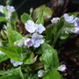 Omphalodes cappadocica 'Lilac Mist' (Omphalodes cappadocica (Navelwort))
