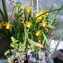 Daffs_tete_a_tete_on_balcony_table_2010_03_21_002
