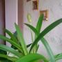 Amaryllis in living room 2010-03-25 (Amaryllis Hippeastrum)