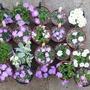 Primula allionii time in the alpine house (Primula allionii)