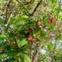 Raspberries, 2009 summer