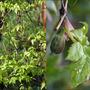 Clematis Macropetala (Clematis macropetala (Clematis))